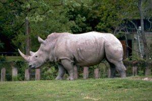 White_rhinoceros_or_square_lipped_rhinoceros_african_mammal_ceratotherium_simum